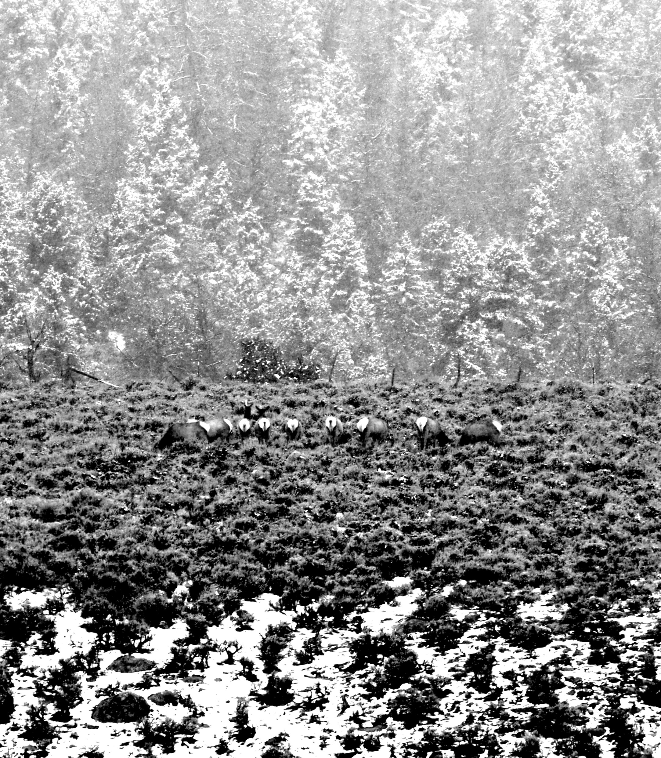 Winter Elk B & W _DSC4563